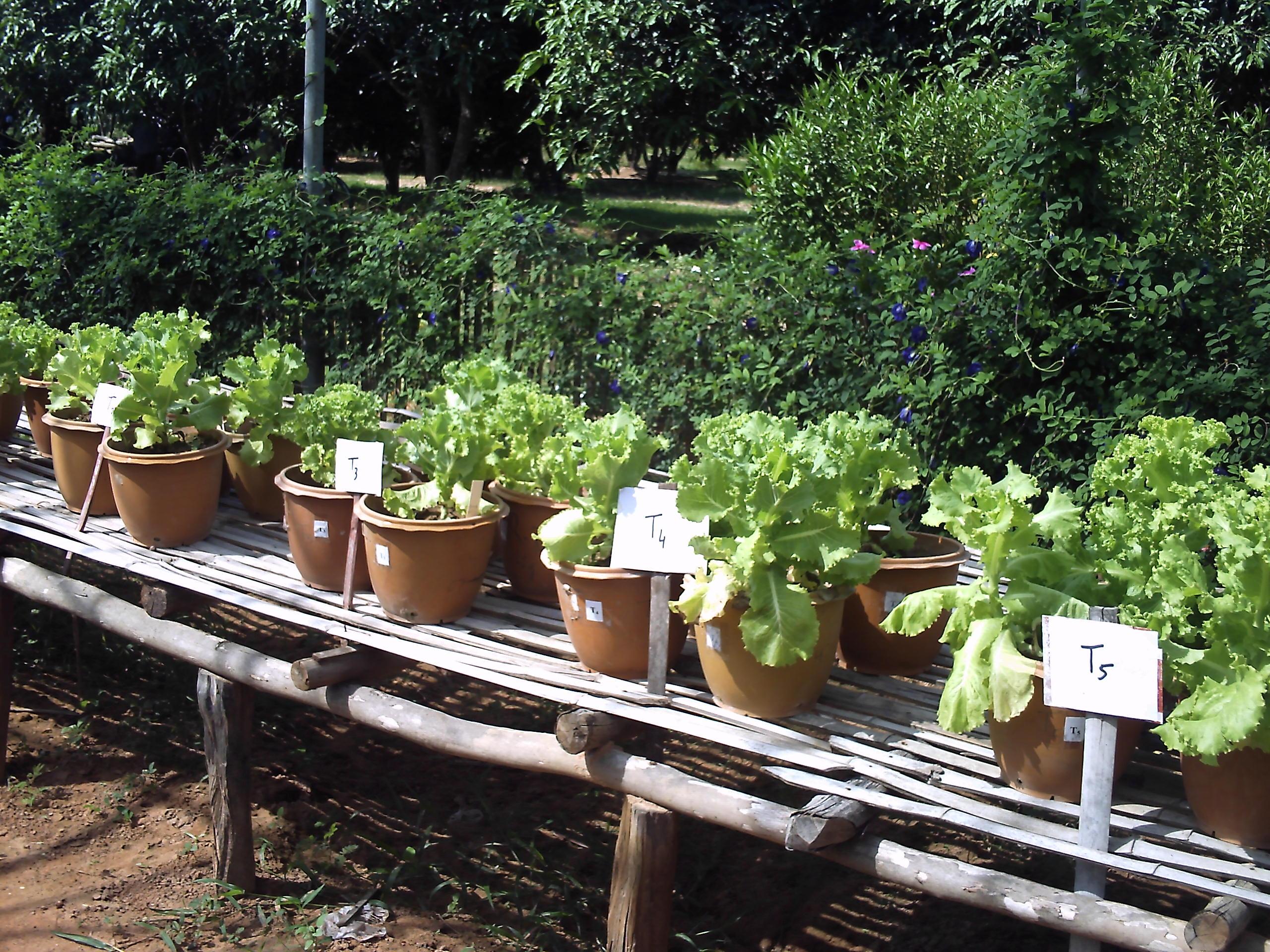 Growing lettuce in a pot - Lettuce Pot Trials Tuk Vil On Day Of Harvest 17 06 2010